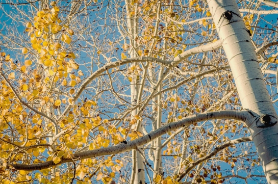 Autumn Sun Valley Resort Birch Tree Idaho